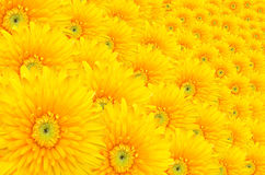 大丁草, Barberton雏菊作为背景的许多朵花。 库存照片