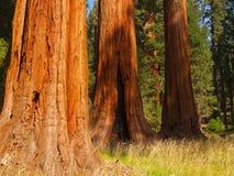 大三个结构树 免版税图库摄影