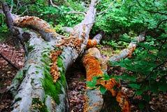 大下落的树特写镜头和一个巨大的小组棕色和黄色蘑菇 青苔和真菌 免版税库存图片
