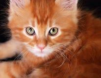 大不可思议的小猫眼睛 特写镜头 smal红色坚实缅因浣熊的姜 库存照片