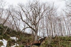 大不生叶的树在Fukidashi公园区域在冬天在北海道,日本 库存图片