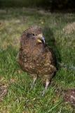大不能飞行,西部gallirallus澳大利亚人,极光的Gallirallus,新西兰南岛 免版税库存照片