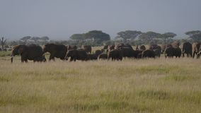大与吃草的婴孩的牧群狂放的大象在非洲大草原的牧场地 股票录像