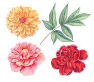 大丽花和牡丹桃红色,红色,黄色葡萄酒开花在白色背景隔绝的绿色叶子 水彩植物学例证 免版税图库摄影