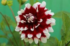 大丽花明亮的花在庭院里 库存照片