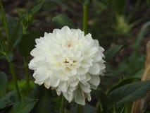 大丽花是增长的一朵非常美丽的花 图库摄影
