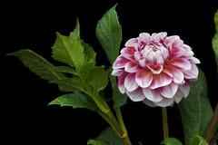 大丽花桃红色和白色颜色;在黑背景01的花 免版税库存图片