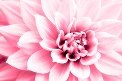 大丽花浅粉红色的花宏观照片 在强调明亮的桃红色和聚焦的颜色的高关键图片 免版税库存图片