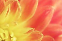 大丽花瓣花黄色桃红色背景  大下落绿色叶子宏观摄影水 软绵绵地集中 免版税库存图片