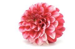 大丽花粉红色 库存图片