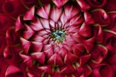 大丽花紫红色红色 库存图片