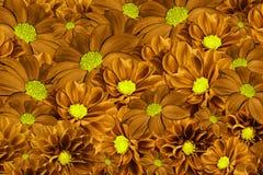 大丽花花卉橙黄色的背景  排列明亮的花 橙色大丽花花束  免版税库存照片