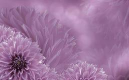 大丽花花卉浅粉红色的美好的背景  背景构成旋花植物空白花的郁金香 桃红色大丽花背景  免版税图库摄影