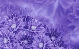 大丽花花卉白紫罗兰色美好的背景  背景构成旋花植物空白花的郁金香 库存照片