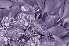 大丽花花卉紫罗兰色背景  排列明亮的花 紫色大丽花花束  库存图片