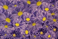 大丽花花卉紫罗兰色背景  排列明亮的花 紫色黄色大丽花花束  库存照片