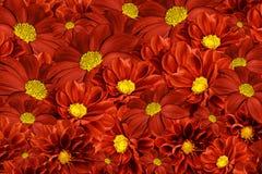 大丽花花卉红黄色背景  排列明亮的花 红色大丽花花束  免版税库存照片