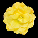 大丽花花在黑色隔绝的黄色瓣 免版税库存图片