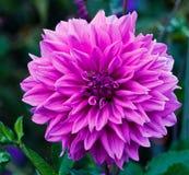 大丽花花淡紫色/紫色 免版税库存图片