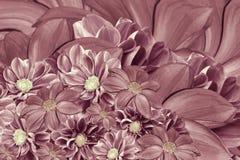 大丽花花花卉桃红色珍珠背景  排列明亮的花 桃红色大丽花花束  免版税库存照片