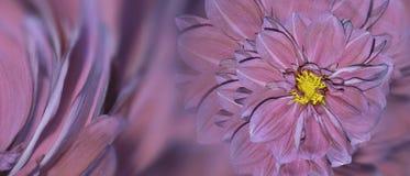 大丽花花花卉紫色桃红色背景  排列明亮的花 庆祝的明信片 特写镜头 库存照片
