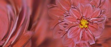 大丽花花花卉红色背景  排列明亮的花 庆祝的明信片 特写镜头 免版税库存图片