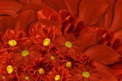 大丽花花花卉红色背景  排列明亮的花 红色大丽花花束  免版税库存照片