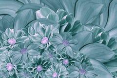 大丽花花花卉绿松石珍珠背景  排列明亮的花 绿松石大丽花花束  库存照片