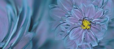大丽花花花卉绿松石紫罗兰色背景  排列明亮的花 庆祝的明信片 特写镜头 库存图片