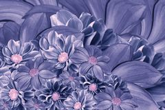 大丽花花花卉青紫罗兰色背景  排列明亮的花 蓝色大丽花花束  库存图片