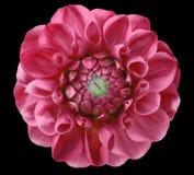 大丽花花,桃红色,绿色中心,黑背景隔绝与裁减路线 免版税库存图片