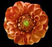 大丽花花,红橙色,绿色中心,黑背景隔绝与裁减路线 库存照片