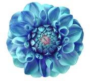 大丽花花,蓝色,绿松石;桃红色中心,白色背景隔绝与裁减路线 图库摄影