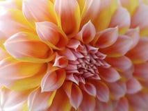 大丽花花,黄色红色桃红色 特写镜头 美丽的大丽花 侧视图花,远的背景为设计被弄脏, 自然 免版税图库摄影