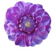 大丽花花, purpure,绿色中心,白色背景隔绝与裁减路线 特写镜头 免版税图库摄影