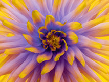 大丽花花紫色 瓣色的光芒 特写镜头 在绽放的美丽的大丽花设计的 免版税库存图片