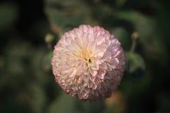 大丽花蕨巴洛米诺马 免版税库存照片