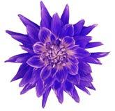 大丽花青桃红色紫罗兰色花,白色背景隔绝与裁减路线 特写镜头 没有阴影 巨大,被察觉的,尖刻的f 库存图片