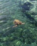 大乌龟在海 库存图片