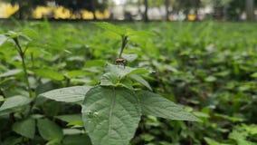 大乳草臭虫昆虫在叶子的 下雨天在公园,waterdrops落 股票视频