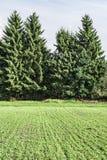 大云杉在培养的领域,被种植的农田,秋天晴天附近增长 免版税库存照片