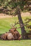 大供住宿的公牛麋Bugling 免版税图库摄影