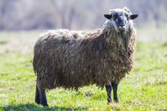 大健康绵羊侧视图与单独站立在绿色象草的领域的长的卷曲白色灰色羊毛的骄傲地看在camer 库存照片