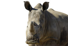 大公犀牛 库存图片