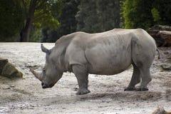 大公犀牛 免版税图库摄影