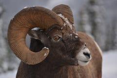 大公羊 免版税库存图片
