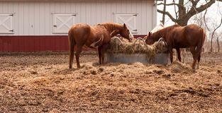 大农场小牧场饲料圈子哺养离群干草的家畜马 库存照片
