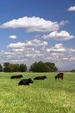 大农场牛和云彩 免版税库存图片