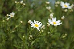 大加那利岛植物群-延命菊雏菊 库存图片