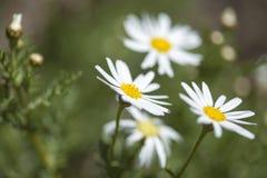 大加那利岛植物群-延命菊雏菊 免版税库存照片